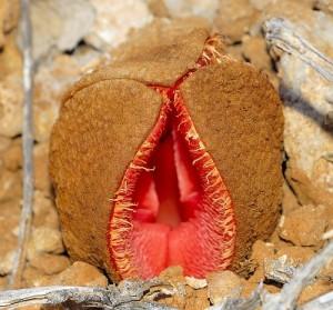 Паразитното пустинно цвете – Hydnora africana