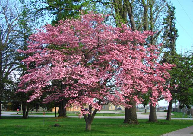 5 Прекрасни дървета за малък двор – част 2