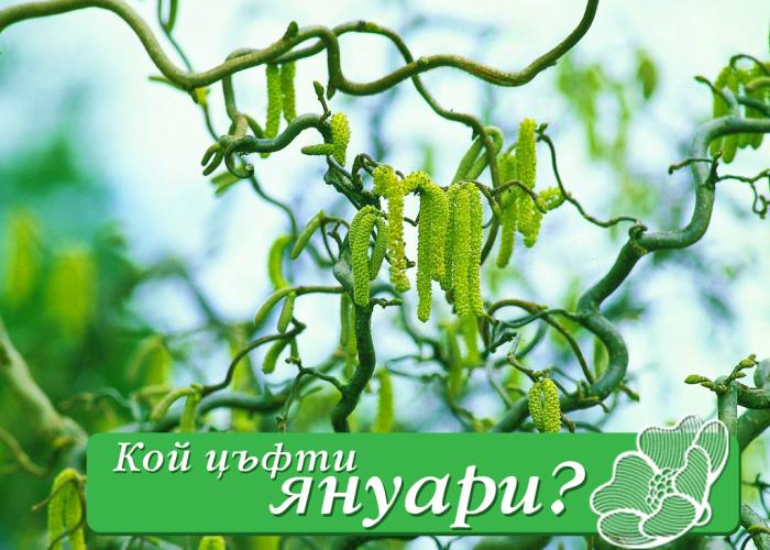 """Кой цъфти първи – """"Corylus avellana Contorta"""""""
