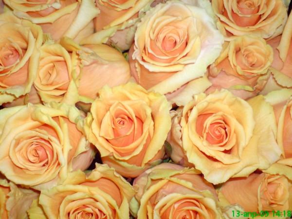 Кремава роза - Желание