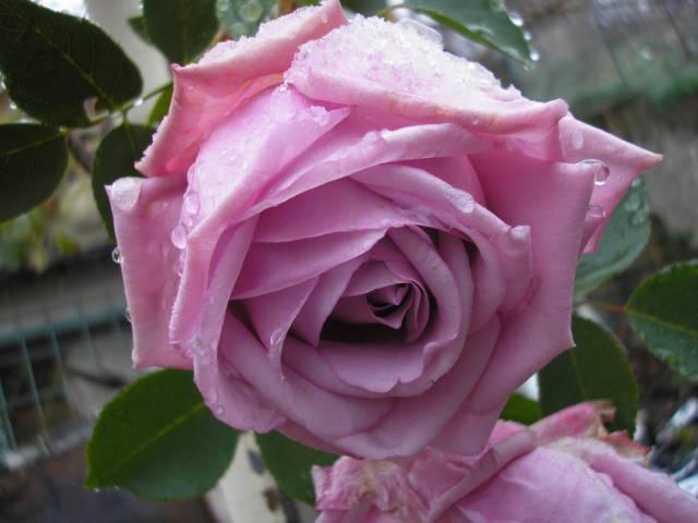 Бледо лилава роза - прелест