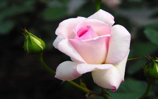 бледо розова роза - изящество1