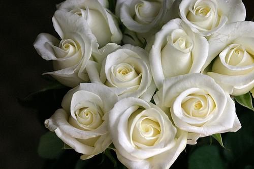 бяла роза - невинност