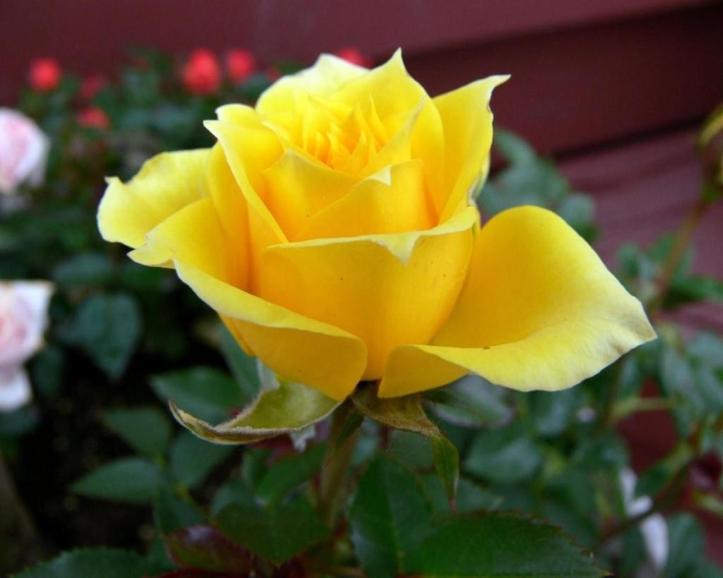 жълта роза - радост