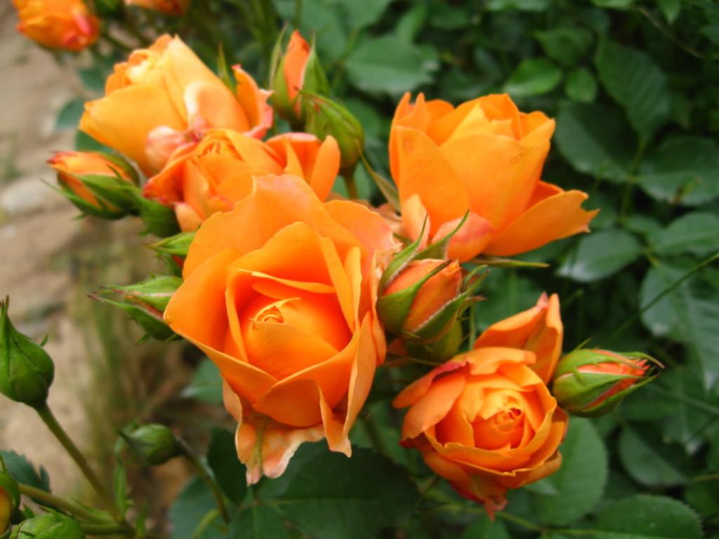 оранжева роза - очарование