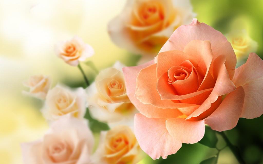 роза с цвят на праскова - скромност