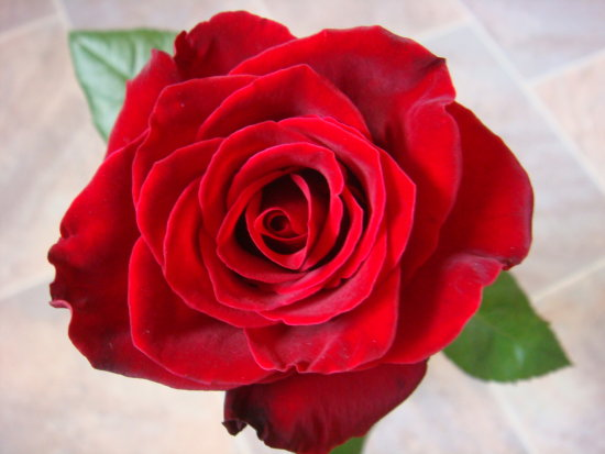 червена разцъфнала роза - Обичам те