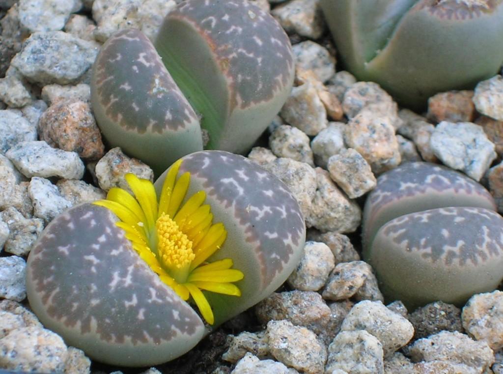 Lithops julii - живи камъчета Литопси (1)