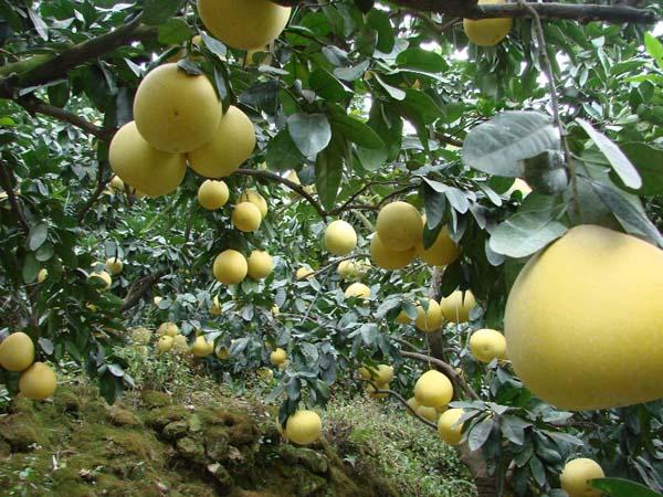 Най-големият цитрусов плод на света!