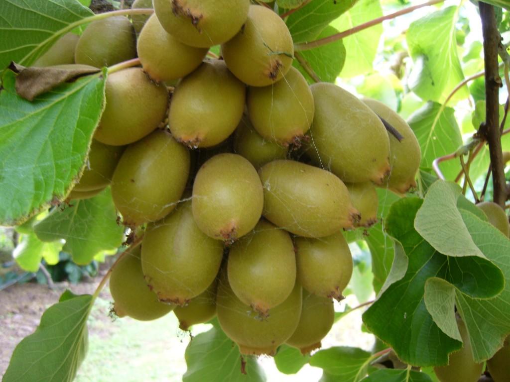 Киви Kiwi fruit