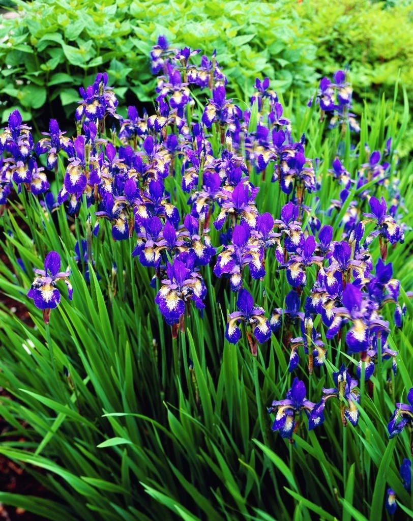 Iris sibirica Ottawa