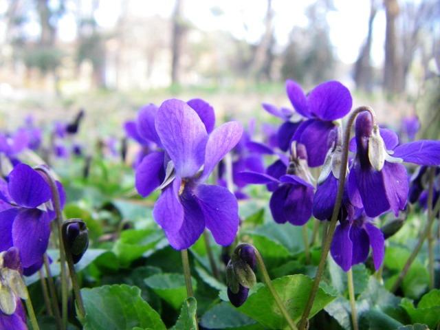 дива теменужка - viola witrociana