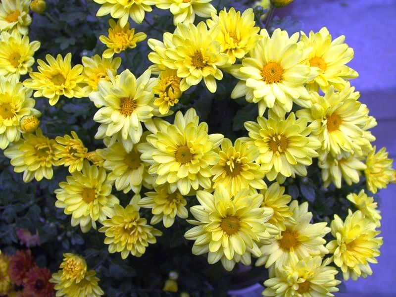 хризантема - chrisanthemum