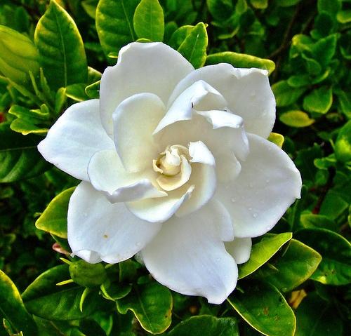 Gardenia - Гардения
