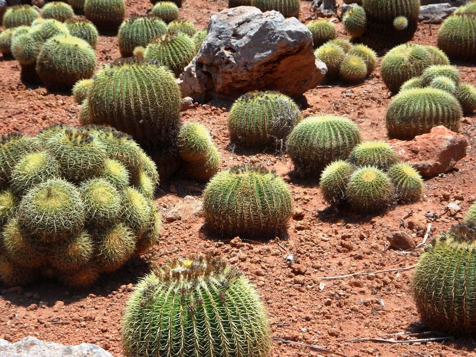 Kaktus - кактус