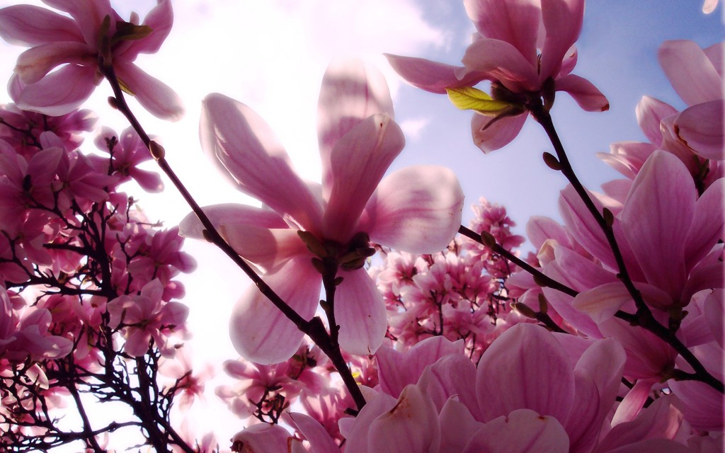 Magnolia - Магнолия