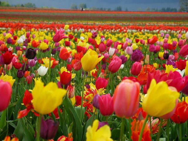 Tulips - lale - лале