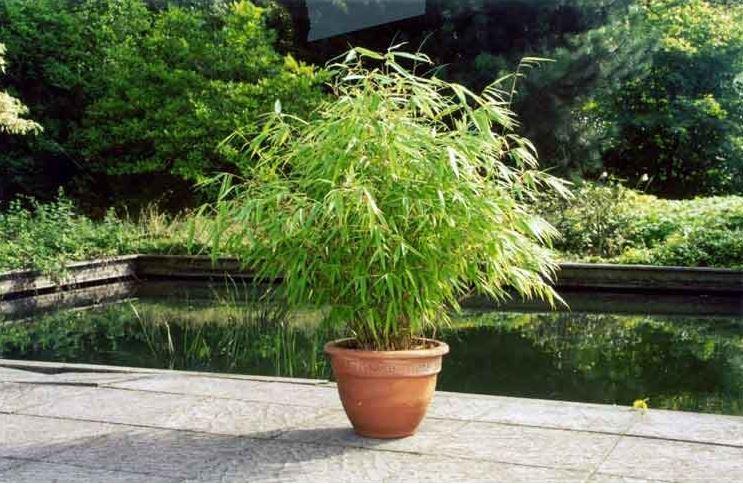 Бамбук цъфтеж - bloom bamboo - Fargesia nitida 4