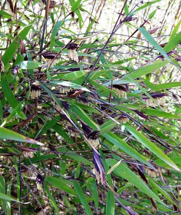 Бамбук цъфтеж - bloom bamboo - Fargesia nitida