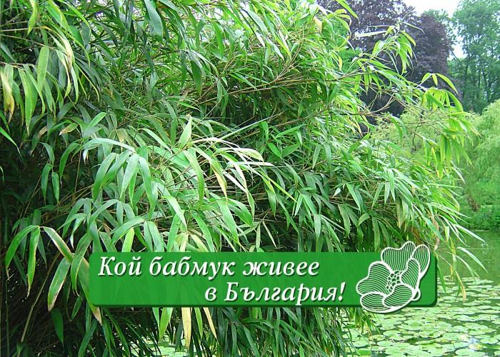 Бамбукът – красив, но опасен