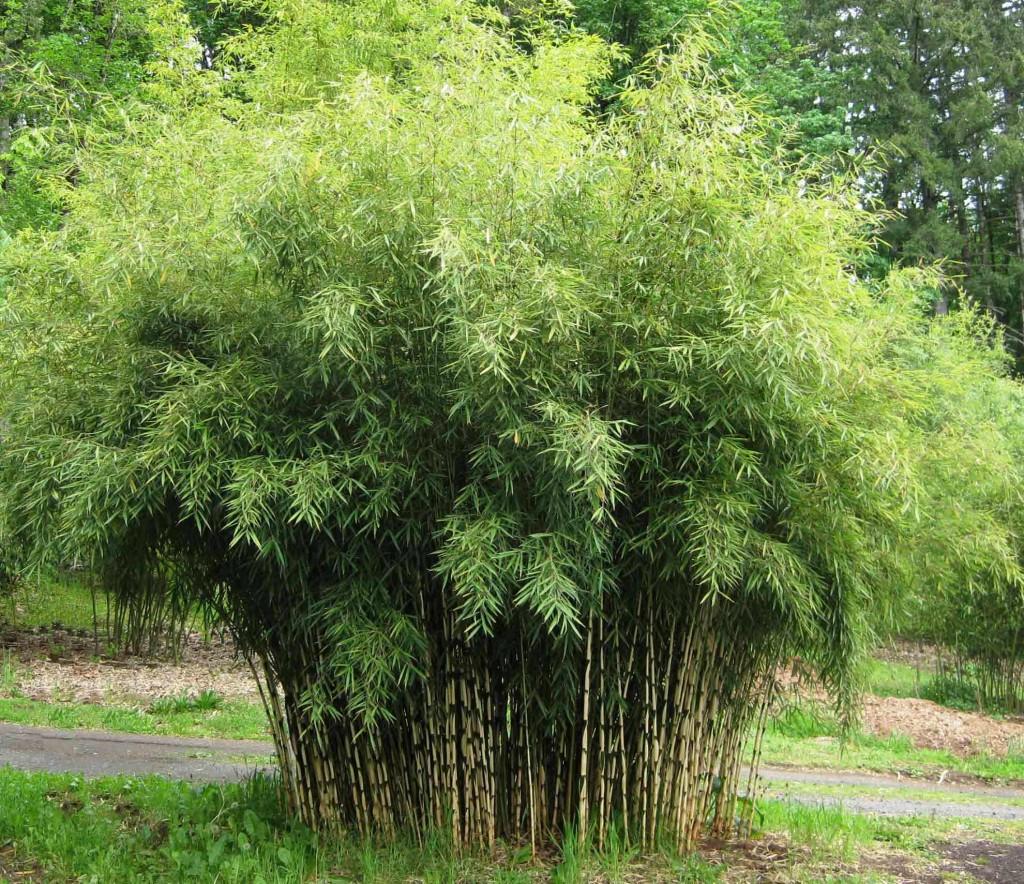 Бамбук - bamboo - Fargesia nitida 1
