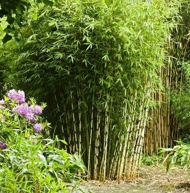 Бамбук - bamboo - Fargesia nitida 2