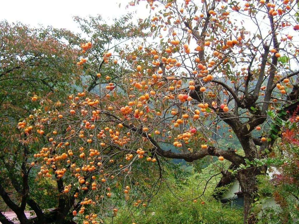 Diospyros kaki - райска ябълка плодове